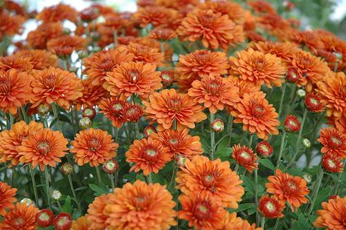 Garden Mum, Bronze / Orange