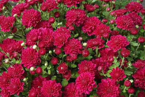 Garden Mum, Pink / Purple