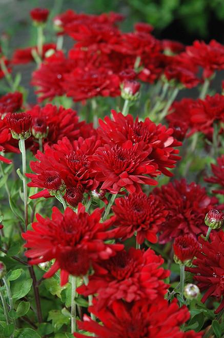 Garden Mum, Red