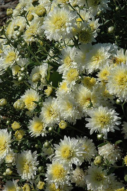 Garden Mum, White