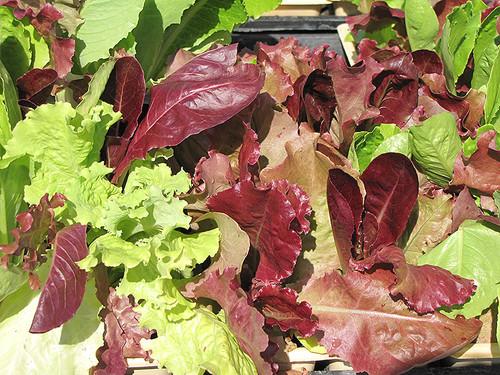 Vegetable Gourmet Lettuce