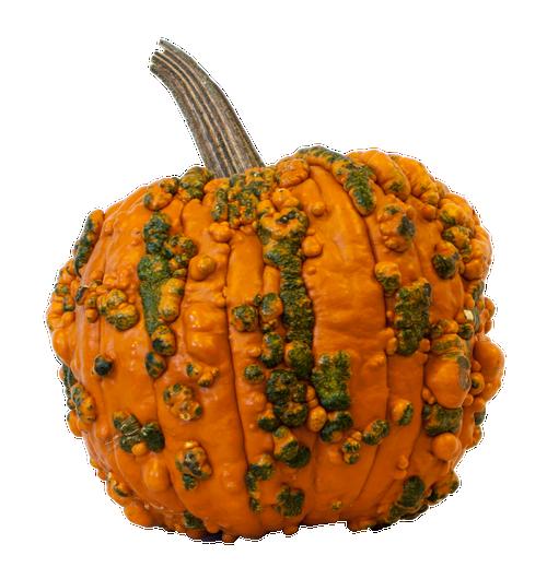 Orange Warted Specialty Pumpkin