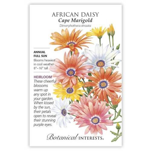 Cape Marigold African Daisy Seeds Heirloom