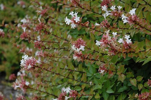 Rose Creek Abelia