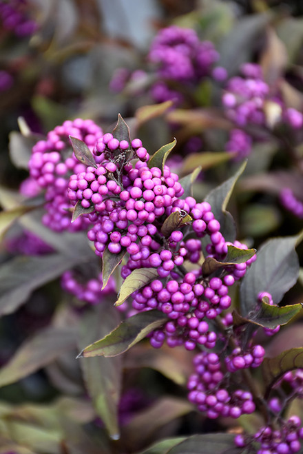 Pearl Glam® Beautyberry