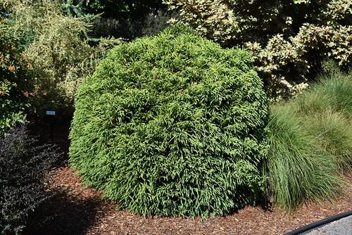 Dwarf Globe Japanese Cedar