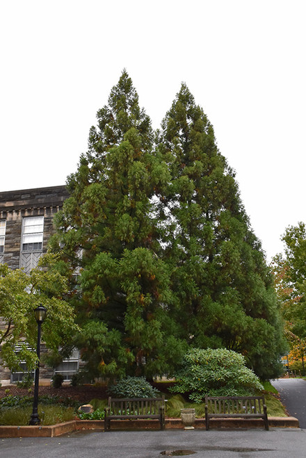 Yoshino Japanese Cedar