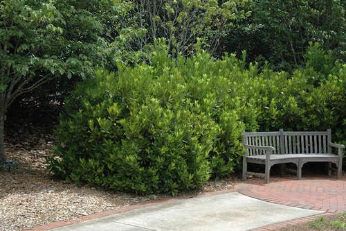 Yellow Anise Tree