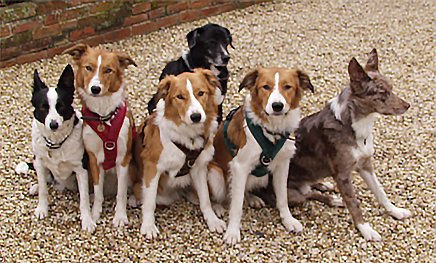 flyball, agility and dog training harness
