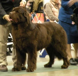 How to Count Dog Show Championship Points