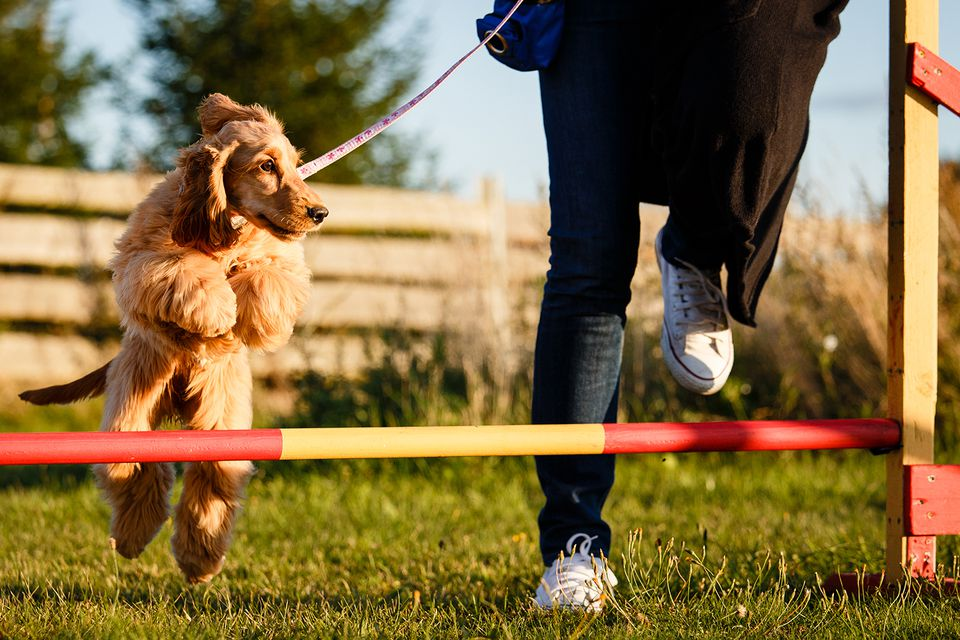 How to Train Your Dog in Agility Sports - Show Dog Store