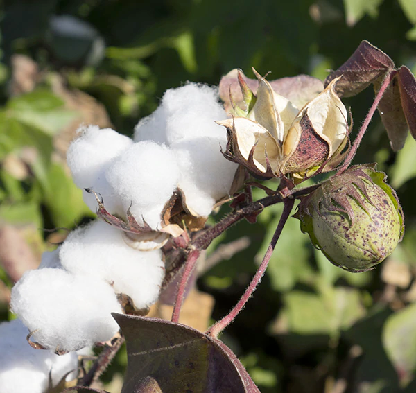Cotton flowers in nature