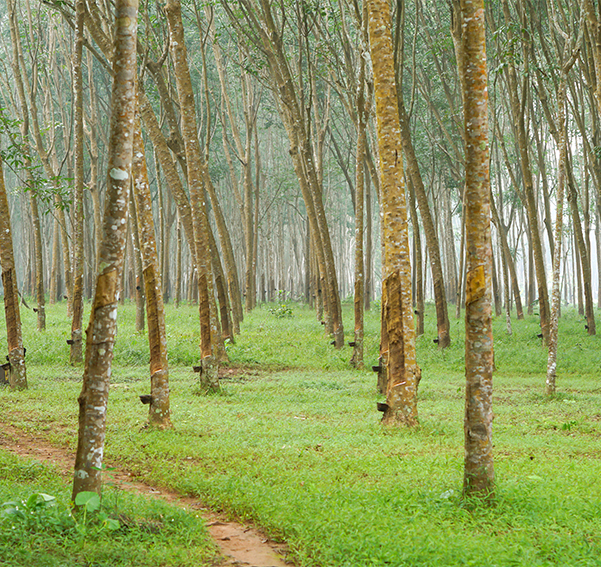 A rubber tree plantation with many rubber trees in the view