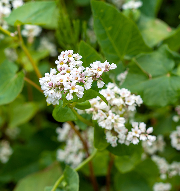 Buckwheat flowers in nature blossoming
