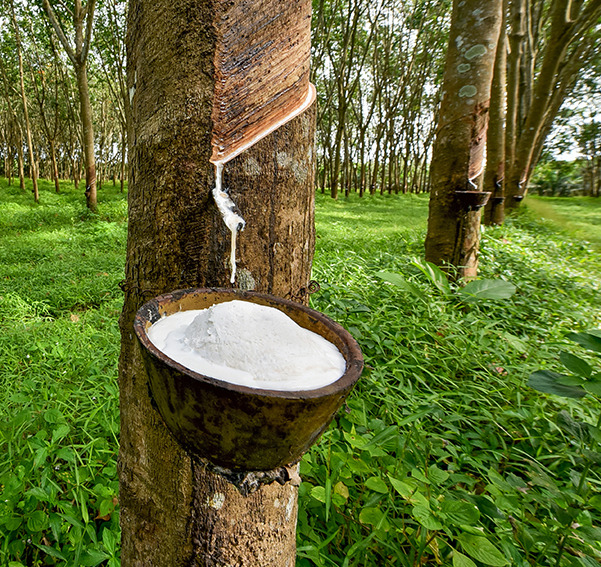 Latex sap being extracted from a rubber tree without harming the tree