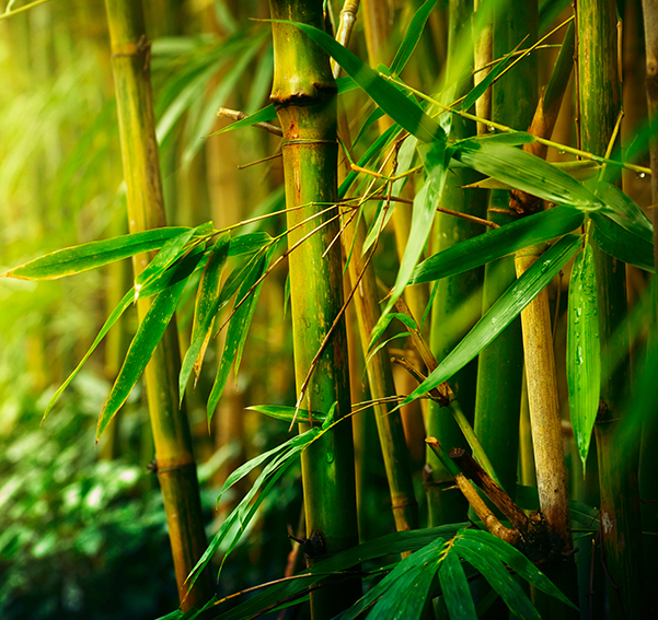 Bamboo trees in nature
