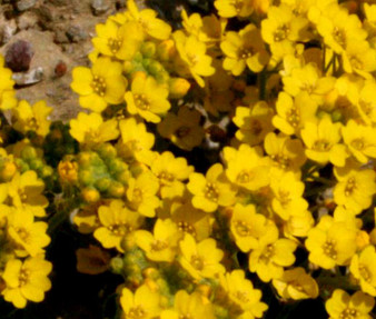 Alyssum Mountain Gold Seeds - Alyssum Montanum