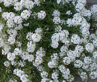 Alyssum Tiny Tim Seeds - Lobularia Maritima