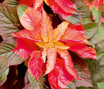 Amaranthus Illumination Seeds - Amaranthus Tricolor