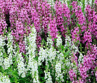Angelonia Serena Mix Seeds - Angelonia Angustifolia