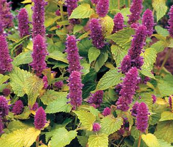 Anise Hyssop Golden Jubilee Non GMO Seeds - Agastache Foeniculum
