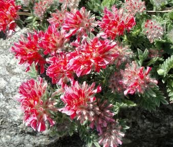 Anthyllis Red Carpet Seeds - Anthyllis Vulneraria Coccinea