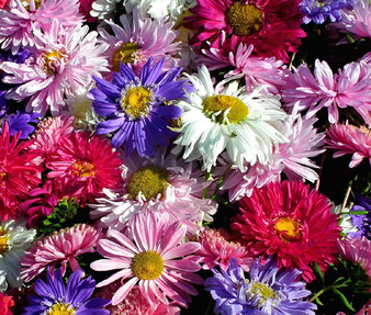 Aster China Mix Seeds - Callistephus Chinensis