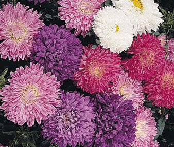 Aster Dwarf Milady Mixed Seeds - Callistephus Chinensis