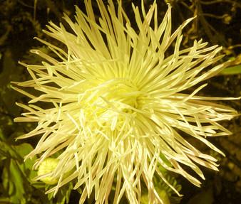 Aster Needle Unicum Yellow Seeds - Callistephus Chinensis