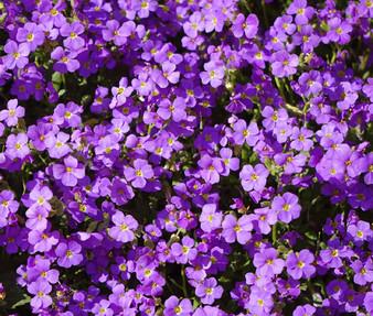 Aubrieta Rock Cress Purple Seeds - Aubrieta Hybrida Hendersonii