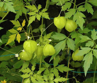 Balloon Vine Seeds - Cardiospermum Halicacabum