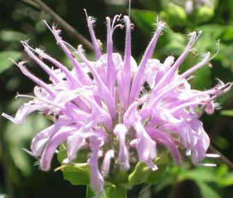 Bergamot Wild Bee Balm Non GMO Seeds - Monarda Fistulosa