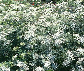 Bishop's Flower Seeds - Ammi Majus