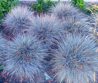 Blue Fescue Seeds - Festuca Glauca