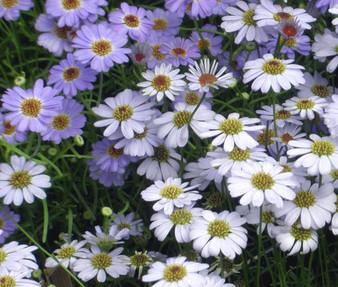 Brachycome Mix Seeds - Brachycome Iberidifolia