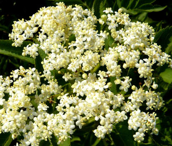 Butterfly Weed White Seeds - Asclepias Incarnata