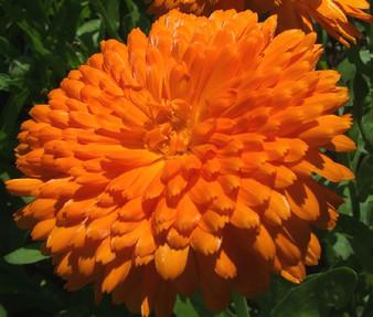 Calendula Orange King Non GMO Seeds - Calendula Officinalis