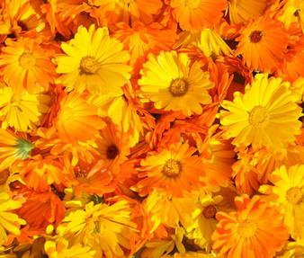 Calendula Pacific Beauty Non GMO Seeds - Calendula Officinalis
