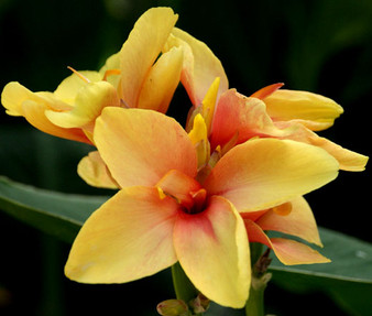 Canna Yellow Seeds - Canna x Generalis