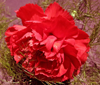 Carnation Grenadin Red Scarlet Seeds - Dianthus Caryophyllus