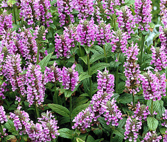 Catmint Pink Cat Non GMO Seeds - Nepeta Nervosa