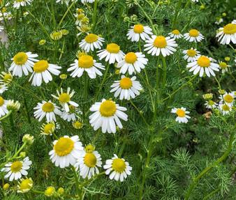 Chamomile German Non GMO Seeds - Matricaria Recutita