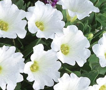 Chilean Bellflower White Seeds - Nolana Paradoxa