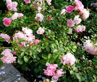 China Rose Angel Wings Non GMO Seeds - Rosa Chinensis