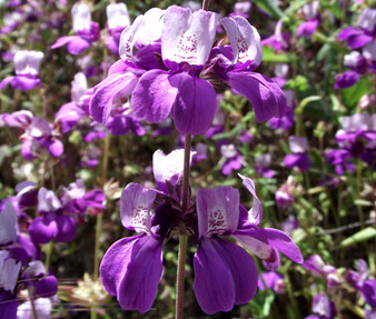 Chinese Houses Seeds - Collinsia Heterophylla