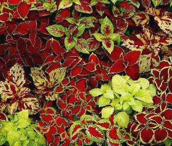 Coleus Fairway Mix Seeds - Solenostemon Scutellarioides