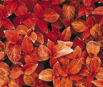 Coleus Wizard Sunset Seeds - Solenostemon Scutellarioides
