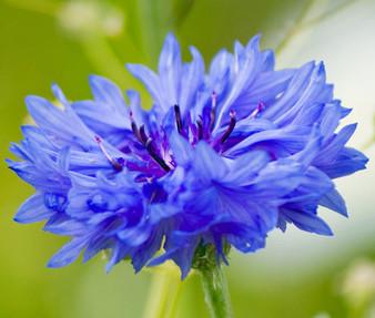 Cornflower Bachelor's Button Blue Dwarf Seeds - Centaurea Cyanus