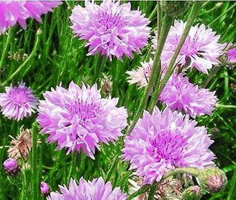Cornflower Bachelor's Button Mauve Seeds - Centaurea Cyanus
