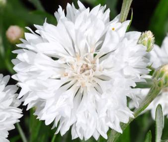 Cornflower Bachelor's Button White Dwarf Seeds - Centaurea Cyanus